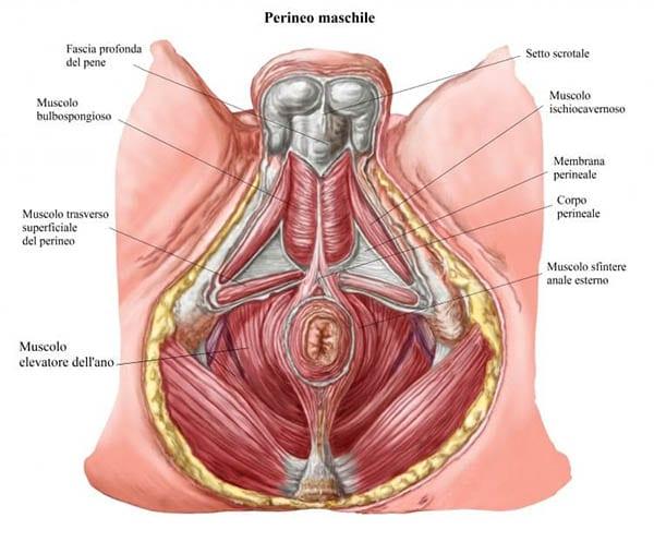 anatomia-pavimento-pelvico-maschile Pavimento Pelvico cosa è e perché è così importante?