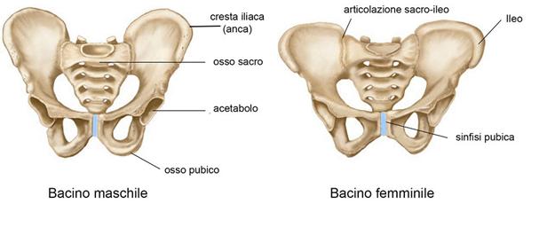 bacino-maschile-bacino-femminile Pavimento Pelvico cosa è e perché è così importante?