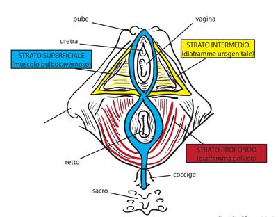 muscoli-del-diaframma Pavimento Pelvico cosa è e perché è così importante?